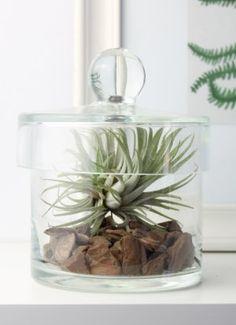 Атмосферное растение без корней - Тилландсия на подушке из сосновой коры