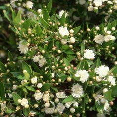 MYRTUS communis 'Flore Pleno' (Myrte) : Arbuste persistant. Sol ordinaire plutôt sec. Feuillage vert foncé, très aromatique lorsqu'on le froisse. Fleurs blanc crème,doubles, odorantes.