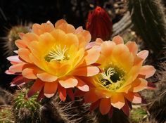 cactus flowers pictures | Cactus flowers ( Echinopsis 'Apricot Glow').