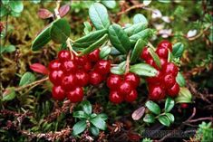 Puolukka/Cowberry