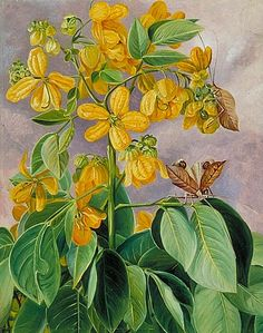 MARIANNE NORTH  Cassia Corymbosa, Minas Geraes, Brazil with Leaf Insects