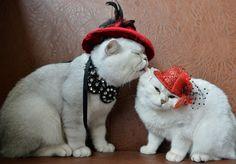 """Dois gatos escoceses de pelo curto foram enfeitados com acessórios e chapéus para tiraram fotos do """"look do dia"""" em uma exposição de felinos em Bisqueque, no Quirguistão"""