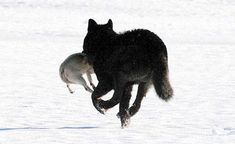 """A solitary black wolf that Juneau residents have come to know as """"Romeo"""" is so comfortable around humans that he plays with their pets. He grabs a pug as if it were a rabbit at Mendenhall Lake last week. The wolf subsequently released the dog, apparently unharmed."""