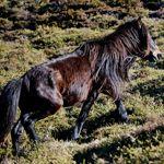 asturcón pony stallion stud Asturias