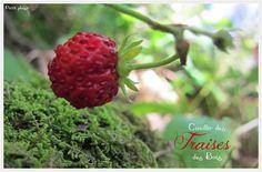 Cueillir des fraises des bois