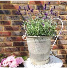 Lavender in a vintage zinc bucket. Beautiful