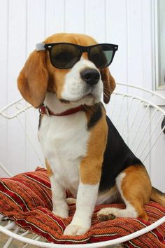beagle.......Top 5 Most Affectionate Dog Breeds (小獵犬.......五大最深情的犬種)