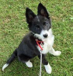 Such a cute border collie pup!