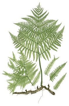 Henry Bradbury is best known for The Ferns of Great Britain and Ireland, published using the new technique of nature printing invented by Alois Auer in 1852 and improved by Bradbury. The technique consisted of pressing a leafy specimen onto a thin, soft lead plate, leaving an intaglio impression with very fine detail. Bradbury had studied Auer's discovery in Vienna and had patented his own version in London, without acknowledging that the idea had originated with Auer.