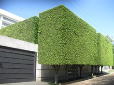 Image result for twining ficus tuffi pleached