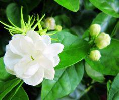 um pacote de 100 peças sementes de jasmim branco, perfumado planta sementes de jasmim árabe frete grátis