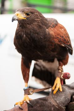 Harris Hawk by Pat Charles