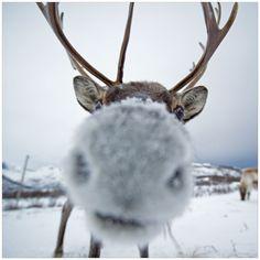 zoom sur le renne.... :))