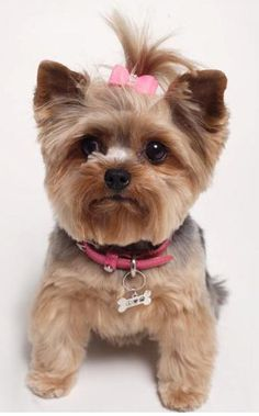 cute yorkie modeling a designer dog collar for Andrea Levine Design~