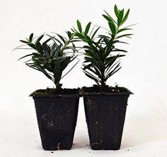 Flowers-Little-John-Plant-Callistemon-Dwarf-Bottlebrush-2-Pack-Green-Leaves-New
