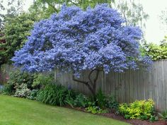 Vitex tree Garden Shrubs, Lawn And Garden, Spring Garden, Garden Leave, Fence Plants, Tree Garden, Garden Houses, Garden Cottage, Garden Club