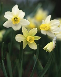 Daffodils - regard; unrequited love; you're the only one; the sun is always shining when I'm with you