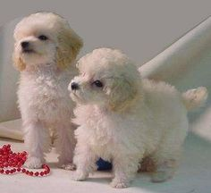 Toy Poodle