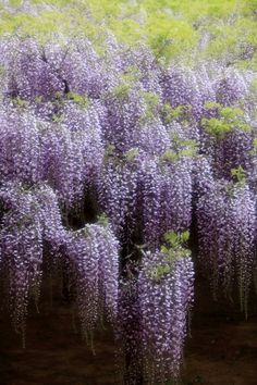 Delphinium, Hydrangea, Wisteria Garden, Mystical World, Magical Tree, San Gabriel, Climbing Vines, Lilac Flowers, Pansies