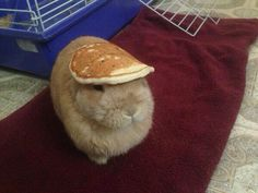Funny pictures about A Bunny With A Pancake On Its Head. Oh, and cool pics about A Bunny With A Pancake On Its Head. Also, A Bunny With A Pancake On Its Head photos. Funny Bunnies, Baby Bunnies, Cute Bunny, Funny Rabbit, Bunny Hat, Silly Rabbit, Pet Rabbit, Easter Bunny, Cute Baby Animals