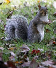 Worst Invasive Species: Grey Squirrels In 1876, a British banker released a pair of grey squirrels he brought from America into the wild for ornamental purposes, leading others to do the same. A century later, they've decimated native red squirrel populations. Grey squirrels don't actually kill their colorful brethren, but they do carry a disease that's deadly to red squirrels. Current estimates say that without action the native species could be extinct within 10 years.