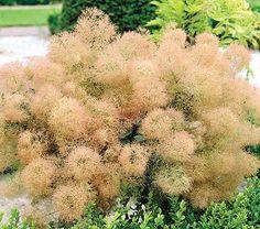 Potters Blog » Blog Archive » Neat Smoke Bush  Smoke bush: fluffy!