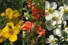 Gemixte potentillahaag  Met onze gemixte Potentillahaag plant u 3 kleuren ineens! Uitstekend geschikt voor een lage, fleurige afscheiding in uw voortuin of langs een terras. De haagplanten in dit haagpakket zijn perfect geschikt voor het maken van 3 meter haag.