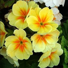 Primula florindae very fragrant drooping bell shaped yellow primula florindae very fragrant drooping bell shaped yellow flowers on strong 40cm high stems has a very lo garden secrets for the secret garden mightylinksfo