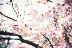 Cherry Blossoms .. if only i'm in japan right now !!