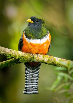 Orange-bellied Trogon by Jeff Costa Rica Photography, via Flickr