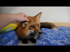 What a fox really says / Can I have a fox like, right now please... I said please...