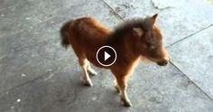 Baby Miniature Horse Keeps Chasing The Cameraman. This Is So Adorable - http://zogdaily.com/baby-miniature-horse-keeps-chasing-cameraman-adorable/