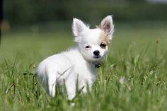 Der kleine Chihuahua-Welpe schaut, wo seine Mutter ist
