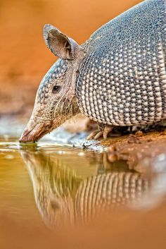 "Armadillos are small placental mammals, known for having a leathery armor shell. The Dasypodidae are the only surviving family in the order Cingulata, part of the superorder Xenarthra along with the anteaters and sloths. The word armadillo is Spanish for ""little armored one""."
