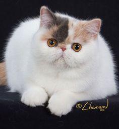 Purfurvid: Exotic Shorthair Cats & Persian Cats - GC Purfurvid Venus