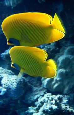 """Together Forever"".. Masked Butterflyfish (Marsa Alam, Red Sea, Egypt) // by Popi Braga on Panoramio"