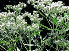 Eupatorium perfoliatum  Used as medicine by Native Americans, boneset