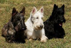 Google Image Result for http://animais.culturamix.com/blog/wp-content/gallery/scottish-terrier/foto-scottish-terrier-15.jpg