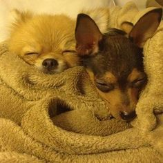 My little munchkins 🎶😂💕😊 #minipin #munchkins #goodnight #dogs #instagramdogs #babies #instapets #pomeranian #おやすみなさい #愛犬 #大好き