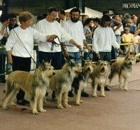 Five Berger Picard dogs all lined up in a row standing in front of there owners