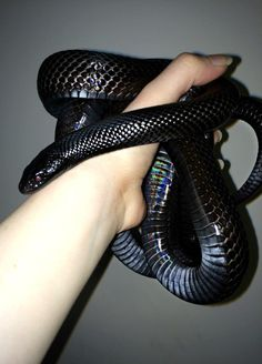 Pet care is both enjoyable business. Beautiful Snakes, Most Beautiful Animals, Cute Reptiles, Reptiles And Amphibians, Mexican Black Kingsnake, Reptile Crafts, Dream Snake, Animals And Pets, Cute Animals