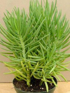 Senecio barbertonicus (Succulent Bush Senecio, Barberton Groundsel) → Plant characteristics and more photos at: http://www.worldofsucculents.com/?p=5156