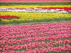 tulipas-no-norte-da-holanda - Pesquisa Google