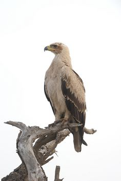 Tawny Eagle. Never seen this one. Don't know where it lives. But, he sure looks special.
