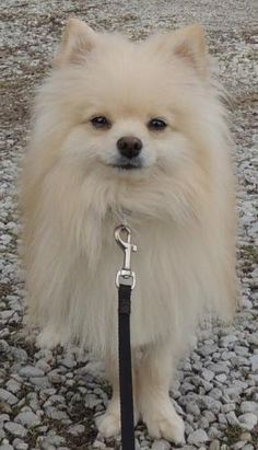 Blondie - 5.5 lbs is an adoptable Pomeranian Dog in Joliet, IL