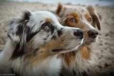 Australia shepherds