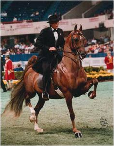 American Saddlebred CH to Die For showing at Louisville.