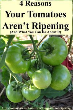 Tomato Gardening For Beginners Tomatoes not ripening? Here are the four main reasons why your tomatoes aren't turning red, and what you can do (if anything) to help ripen your tomatoes. Home Vegetable Garden, Tomato Garden, Tomato Plants, Garden Tomatoes, Veggie Gardens, Growing Tomatoes In Containers, Growing Veggies, Grow Tomatoes, Baby Tomatoes