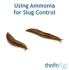 Used in the proper proportion ammonia to water, many gardeners have had success in controlling slugs by spraying with this mixture. This is a guide about using ammonia for slug control.