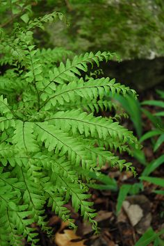 Click to view full-size photo of Northern Maidenhair Fern (Adiantum pedatum) at Bachman's Landscaping